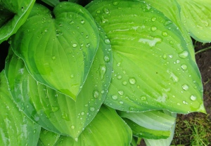 rain drops on hosta