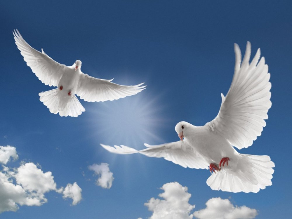 white-dove-flying-picture-hd-desktop-wallpapers